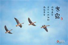 寒露三候:鸿雁来宾,雀入水为蛤,菊有黄华